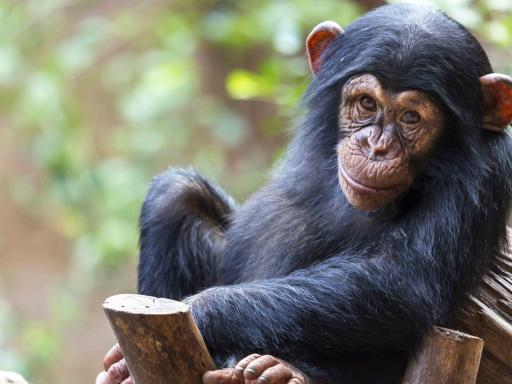 Chimpanzee - Loro Parque Tickets