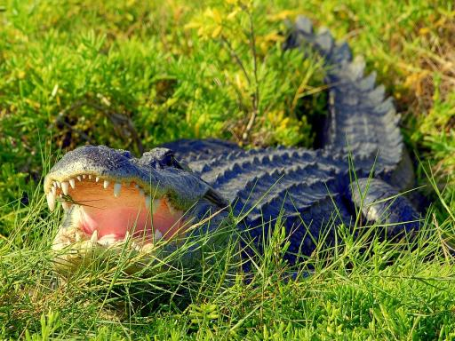 Wild About Florida - Wildlife Gator