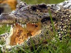 Unser Monats-Highlight: Erleben Sie hautnah Alligatoren im Gatorland!